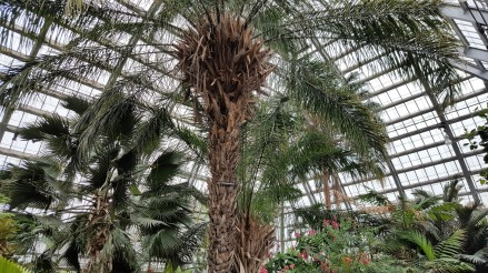 "This is the Scheelea Palm. It ""dates back to 1926, when it was sprouted from a seed collected on an exploring expedition to Brazil led by Chicago's Field Museum of Natural History. The tree has survived two major room renovations and is still going strong."""